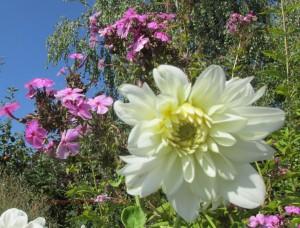 Virágok az őszben,dália fehée
