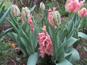 tulipán és jácint,március vége