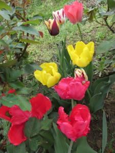 tulipán csoportosulás